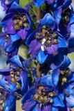 Flowers Delphinium Royalty Free Stock Photo
