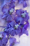 Flowers of   delphinium frozen in ice, art winter background. Royalty Free Stock Photo