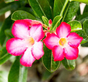 Flowers. Desert Rose-Impala Lily- Mock Azalea Stock Images