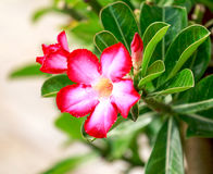 Flowers. Desert Rose-Impala Lily- Mock Azalea Stock Photo