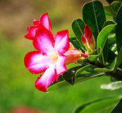 Flowers. Desert Rose-Impala Lily- Mock Azalea Stock Photos