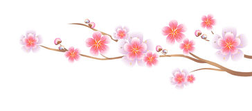 Flowers design. Branch of Sakura isolated on white background. Apple-tree flowers. Cherry blossom. Vector EPS 10 cmyk.  Stock Illustration