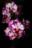 Flowers. Details with beautiful violet orchid on black background Stock Image