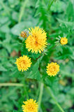 Flowers details- Taraxacum officinale Stock Photos