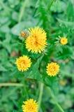Flowers Details- Taraxacum Officinale