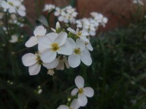Flowers. Details of white flowers in a spring. Amazing Royalty Free Stock Images
