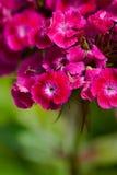 Flowers Dianthus Barbatus In Garden. Royalty Free Stock Images