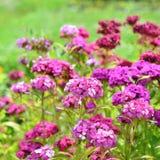 Flowers Dianthus barbatus Royalty Free Stock Image