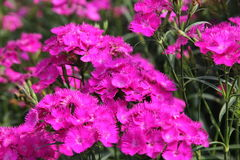 Flowers. Dianthus flowers  is beautiful and amazing Stock Photography