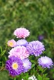 Flowers of different beautiful asters Stock Images