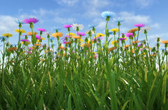 Flowers of different colors, in a grass field. Close up view of a grass filed, plenty of multicolored flowers, viewed from a side with close grass Stock Photo