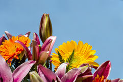 Flowers of different colors in the sun. Sun flowers of various colors with blue sky in the background Royalty Free Stock Photography