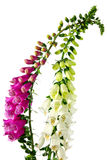 Flowers of digitalis Royalty Free Stock Photography