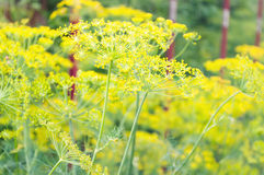 Flowers of dill. Dill in kitchen-garden. flowers of dill Stock Images