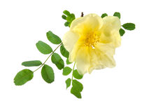 Flowers of Dog Rose Stock Image