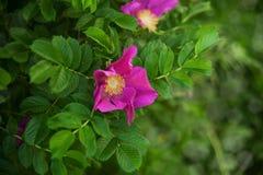 Flowers of dog-rose Royalty Free Stock Photo