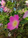 Flowers of dog-rose rosehip growing in nature royalty free stock image