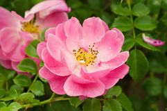 Flowers of dog-rose stock image