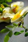 Flowers of dog-rose rosehip. royalty free stock image