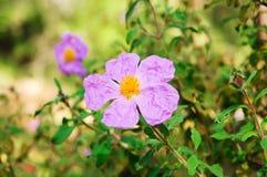 Flowers of dog-rose Stock Photo