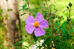 Flowers of dog-rose Royalty Free Stock Image