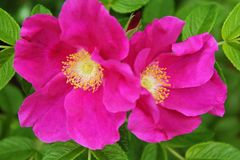 Flowers dogrose bright pink close-up in natural conditions. Flowers dogrose bright pink on the background of green leaf close-up in natural conditions daytime stock image