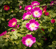 Flowers of a dogrose Stock Images