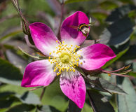 Flowers of a dogrose Royalty Free Stock Photography