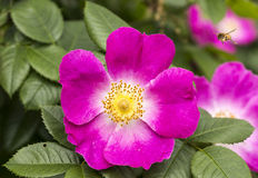Flowers of a dogrose Royalty Free Stock Photos