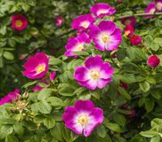 Flowers of a dogrose Royalty Free Stock Image
