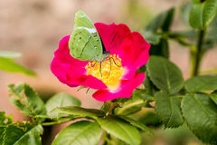Flowers of a dogrose Royalty Free Stock Photo