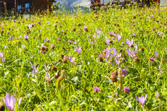 The flowers of the Dolomites Royalty Free Stock Photography