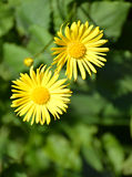Flowers of the doronicum east Doronicum orientale Hoffm.. Large plan.  royalty free stock image