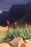 Flowers and Drakensberg mountains Stock Photos
