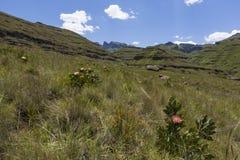 Flowers in the Drakensberg Royalty Free Stock Photo