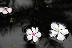 Flowers drifting in water Stock Photos