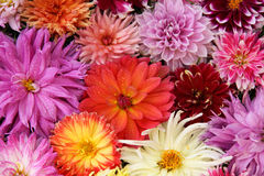 Flowers drops  dahlia. Royalty Free Stock Image