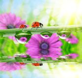 Flowers in the drops of dew on the green grass and ladybirds Royalty Free Stock Photography