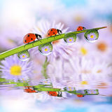 Flowers in the drops of dew on the green grass and ladybugs. Royalty Free Stock Photo