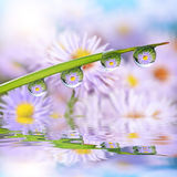 Flowers in the drops of dew on the green grass. Royalty Free Stock Image
