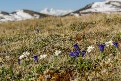 Flowers dry grass mountain snow Royalty Free Stock Photos