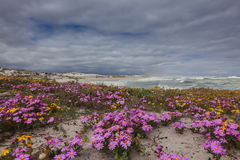 Flowers on the dunes Stock Photo