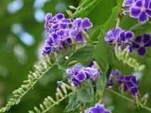 Duranta erecta. Flowers of Duranta erecta - Golden Dew Drop, Pigeon Berry stock photos