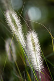 Flowers of Dwarf Foxtail Grass in Morning Sun Stock Photos