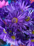 Flowers Dyed Purple, Vibrant Bouquet of Violet Colored Flowers stock photos