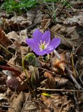 Flowers of Early Spring 1. A close-up of the flowers (Jeffersonia dubia) of early spring of Primorsky region. Ruassian Far East, Primorye Stock Photo