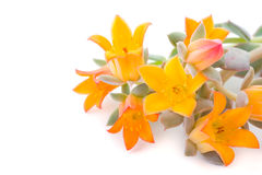 Flowers of echeveria stock images