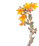 Flowers of echeveria Royalty Free Stock Photography