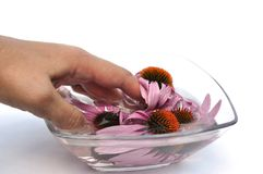 Flowers  echinacea and hand Stock Images