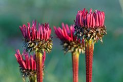 Echinacea purpurea `Fatal Attraction` growing in a flower border. Flowers Echinacea purpurea `Fatal Attraction` in buds dark purple in the garden on a summer royalty free stock image